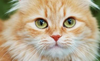 fat-cat-435x235